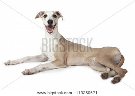 The Whippet Dog Lying Over White