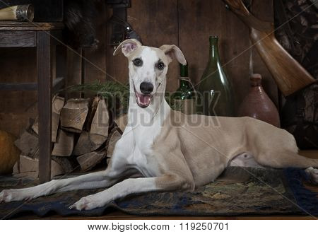 Eight Months Old Whippet Dog