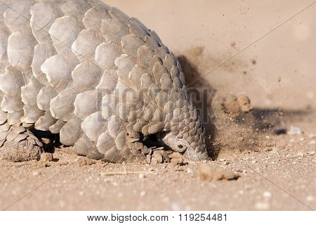 Pangolin digging for ants in loose soil