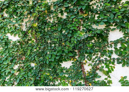 Ivy On White Wall