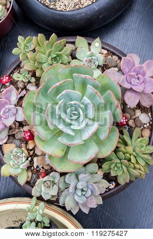 'Hens and Chicks' Succulent