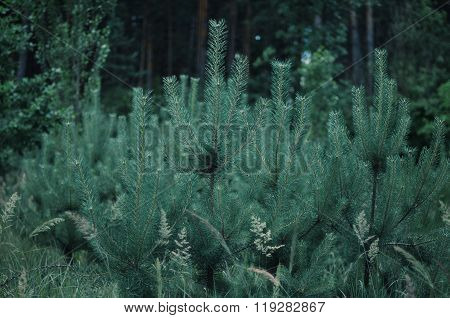 Branches of blue fir tree. Batskground. Young growing fir trees.