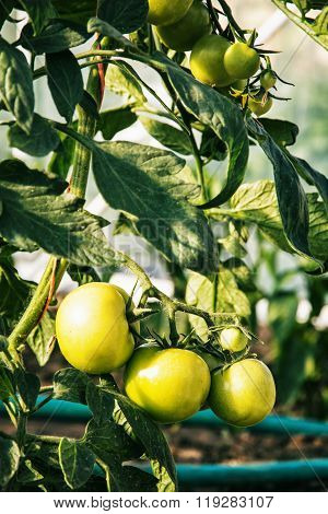 Organic Green Tomatoes Ripening In The Garden, Rural Vegetables