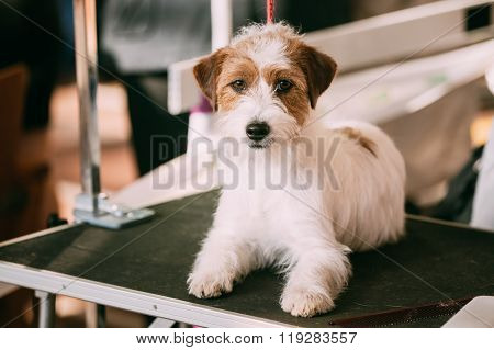 Beautiful Young Rough Coated Jack Russell Terrier Dog. Small ter