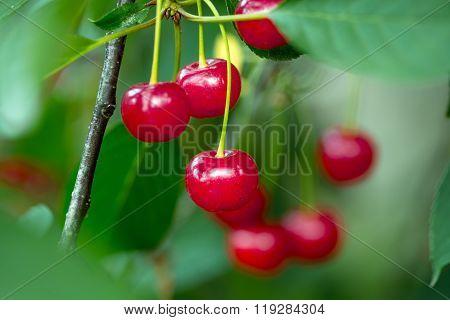 Red Ripe Cherries