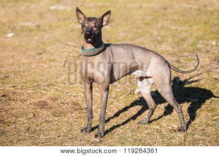 Mexican Hairless Dog  Xoloitzcuintli or Xolo