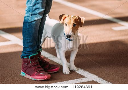 Young Jack Russell Terrier Dog on Floor at  feet of man