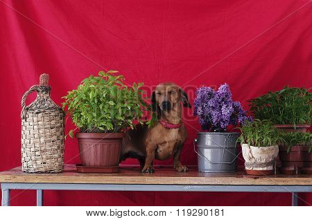 Adult dog breed dachshund sitting on a wooden table next to a va