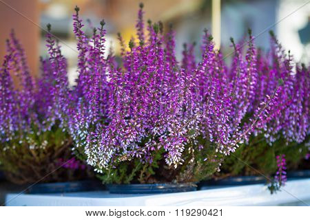 Heather Bushes In The Pots.