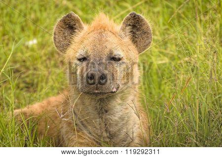Young Hyena Cubs In Kenya's Masai Mara