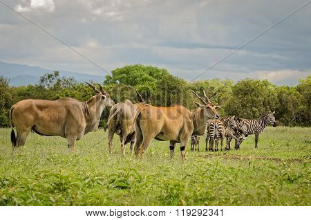 Eland Antelopes And Zebras In Aberdare, Kenya