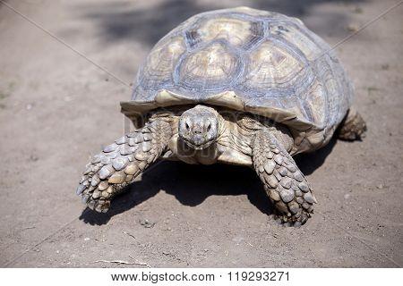 Seychelles giant tortoise (Aldabrachelys gigantea)