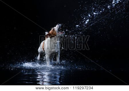 Dog Jack Russell Terrier, Dogs Play, Jump, Run, Move In Water