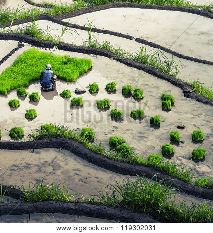 Man planting green rice roots in a wet cultivated land