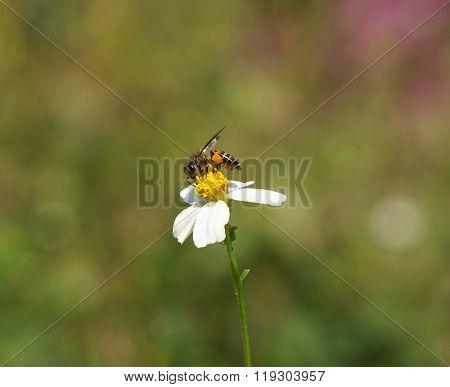 Honey  bee  stick  on  pollen  of  flower.