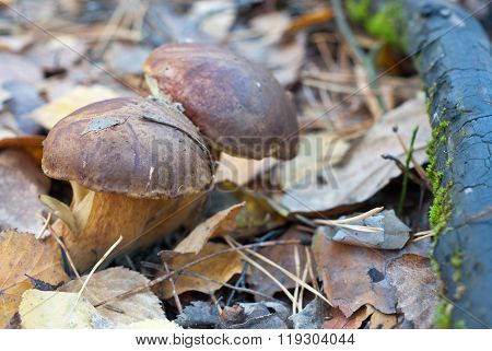The ceps in the forest