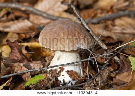 The cep in the forest