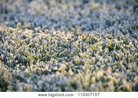Frost on Grass in Florida in the winter