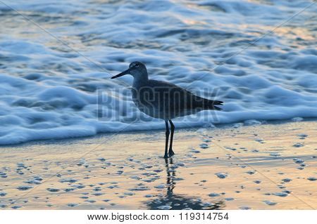 Florida seagull at sunrise