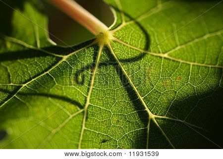Beautiful Grape Leaf In the Morning Sun with Curly Vine Silhouette.