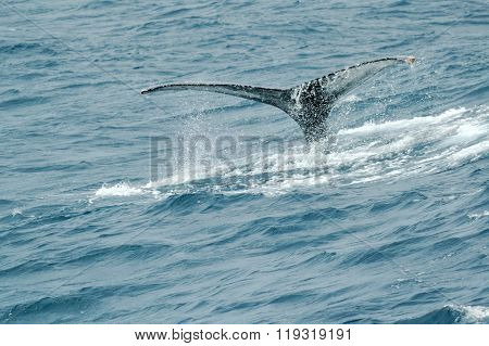 Whale Fin In The Sea Off South Africa