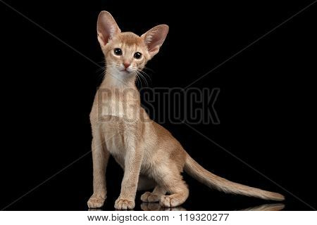 Portrait Of Sitting Abyssinian Kitten Isolated On Black