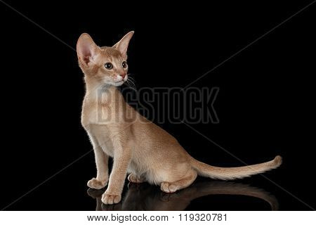 Portrait Of Sitting Abyssinian Kitten And Looking Right Isolated Black