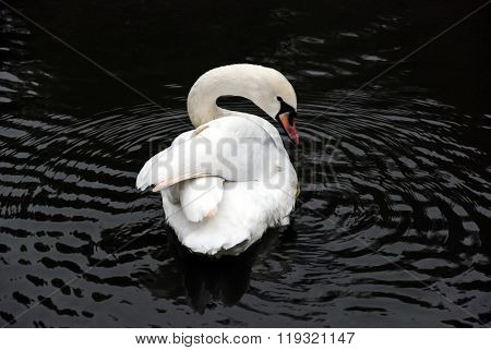 Extremely beautiful swan