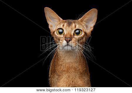 Closeup Portrait Of Funny Abyssinian Cat Isolated On Black