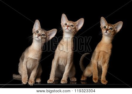Three Cute Abyssinian Kittens Sitting Isolated Black