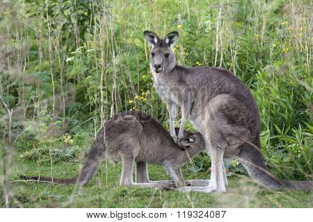 Kangaroo with a little baby joey in Australia