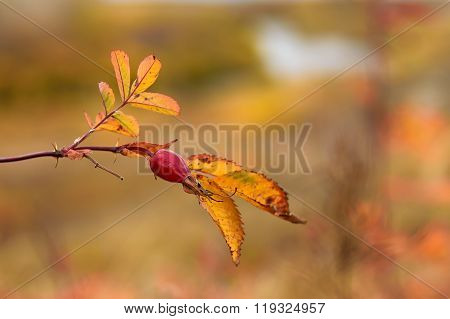 Autumn Photo Of Dogrose In The Forest