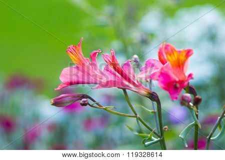 Alstroemeria, Golden Lily-of-the-incas, Peruvian Lily 'orange King'