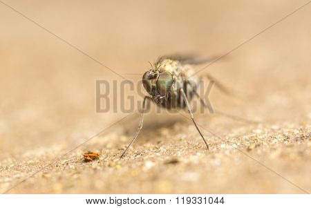 Macro photo of a Dolichopodidae fly, insect