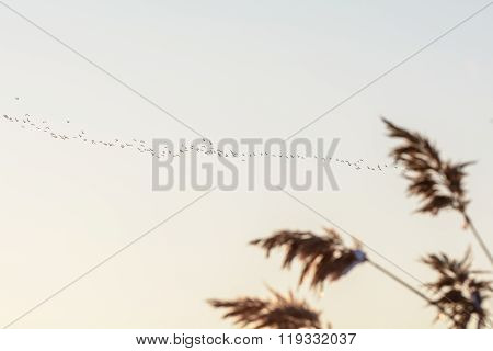 Snowy Reed And Flock Of Birds. Blurry Image With Reed And Flock Of Birds Over The Sky On White Backg
