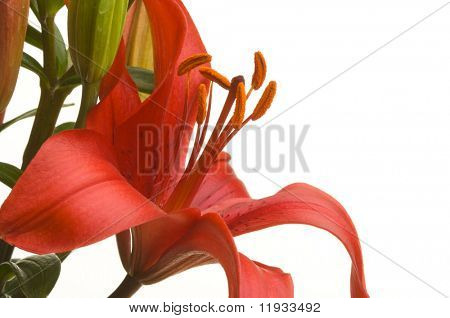 Beautiful Asiatic Lily Bloom on a White Background.