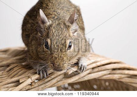 Mouse On Basket
