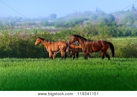 Three free horses walking in a field in high juicy green grass on a background of beautiful scenery.