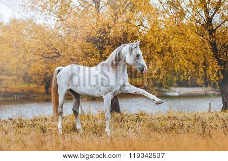 Beautiful Arabian stallion standing on the river bank in the autumn yellow background