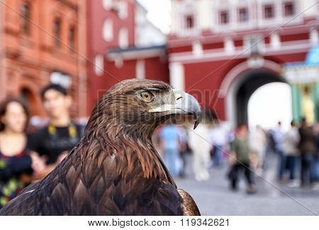 Manual Golden Eagle. Portrait.