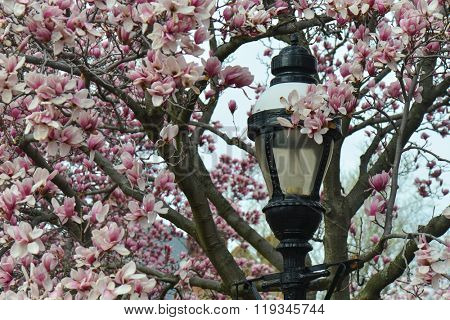 Washington DC in Spring - Authentic street lamp post amid magnolia flowers