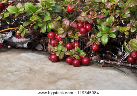Bushes Cranberries.