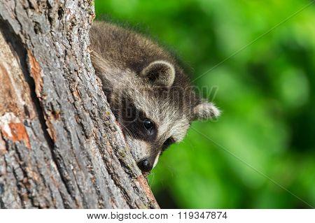 Young Raccoon (procyon Lotor) Peeks Around Tree