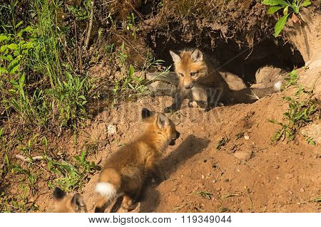 Red Fox Kit (vulpes Vulpes) Watches Others Run Up To Den
