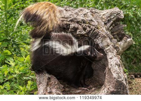 Striped Skunk (mephitis Mephitis) Stands In Log