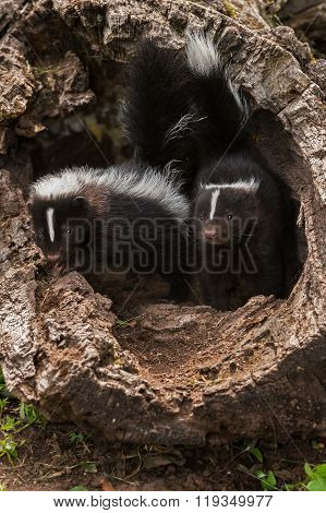 Baby Striped Skunks (mephitis Mephitis) Look Out Of Log