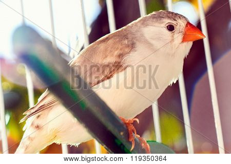 Finch In Cage
