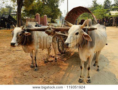 Cow Carriage Taxi At Mingun Pagoda In Mandalay