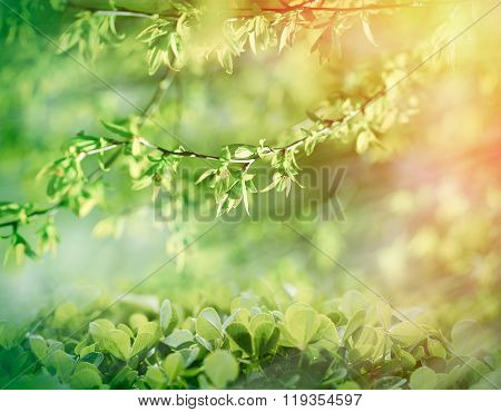 Young spring leaves lit by sun rays