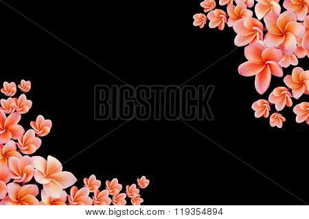 Isolated Beautiful Sweet Pink Flower Plumeria Or Frangipani